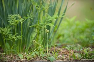 山菜のワラビの写真素材 [FYI01630251]