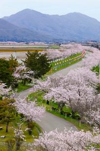 大河津分水の桜並木の写真素材 [FYI01630298]
