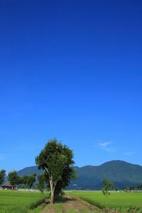 弥彦山とハサ木並木のある農道の写真素材 [FYI01630318]