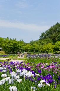 アヤメ咲く五十公野公園あやめ園の写真素材 [FYI01630416]
