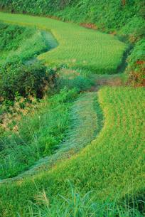秋の棚田とススキの写真素材 [FYI01630437]