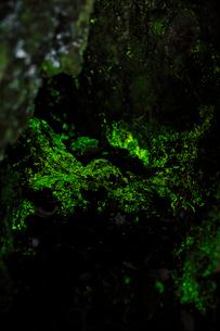 鬼押出し園のヒカリゴケの写真素材 [FYI01630530]