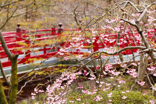 弥彦公園もみじ谷の桜の写真素材 [FYI01630539]