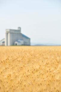 黄金色に色づいた麦畑の写真素材 [FYI01630570]