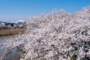 鳥屋野潟の桜とデンカビッグスワンスタジアムの写真素材 [FYI01630582]