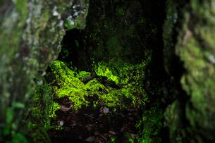 鬼押出し園のヒカリゴケの写真素材 [FYI01630608]