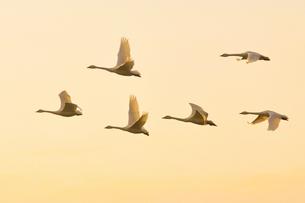 夕暮れの空を飛ぶ白鳥の群れの写真素材 [FYI01630660]
