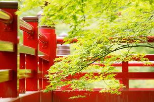 新緑の弥彦公園の観月橋の写真素材 [FYI01630681]