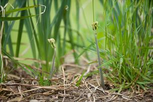 山菜のワラビの写真素材 [FYI01630809]