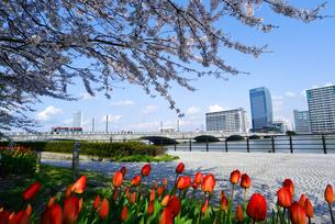 やすらぎ堤の桜とチューリップの写真素材 [FYI01630833]