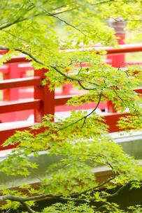 新緑の弥彦公園の観月橋の写真素材 [FYI01630842]