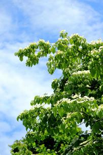 山法師の木の写真素材 [FYI01630845]