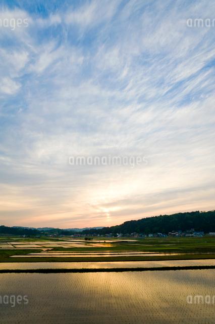 夕焼けに染まる田植え後の水田の写真素材 [FYI01630889]