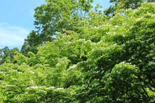 山法師の木の写真素材 [FYI01630927]