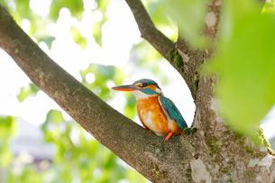 木にとまるカワセミの写真素材 [FYI01630945]