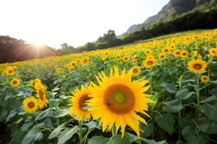 大岩フラワーガーデンの向日葵の写真素材 [FYI01630970]