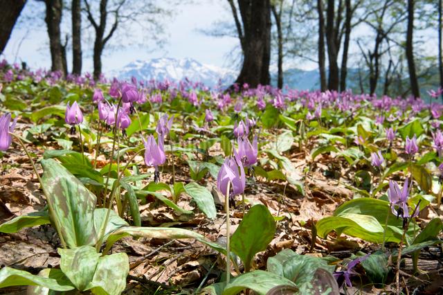 カタクリの花の群生の写真素材 [FYI01630974]
