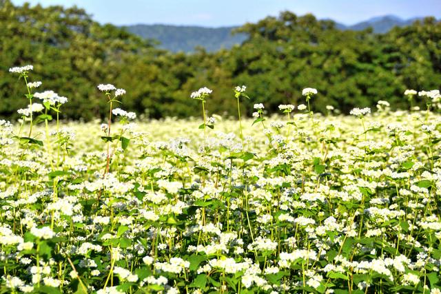 山本山高原のそば畑の写真素材 [FYI01631035]