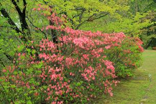 ヤマツツジの花の写真素材 [FYI01631109]