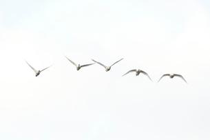白鳥の写真素材 [FYI01631134]