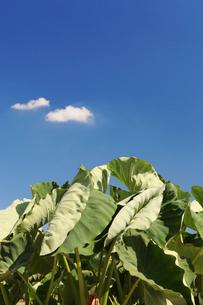 里芋畑の写真素材 [FYI01631154]