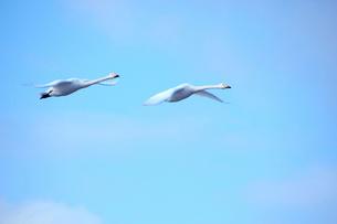 青空に2羽の白鳥の写真素材 [FYI01631162]