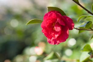 山茶花の花の写真素材 [FYI01631169]