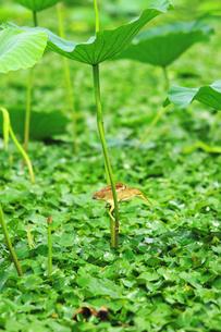 ハスの葉の茎につかまるヨシゴイの写真素材 [FYI01631170]