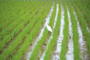 水田を歩く白鷺の写真素材 [FYI01631204]