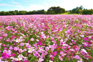 東山ふれあい農業公園のコスモス畑の写真素材 [FYI01631282]