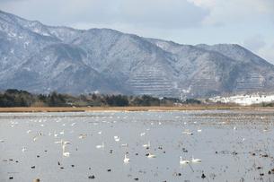 佐潟の白鳥の写真素材 [FYI01631361]