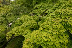 新緑の弥彦公園の写真素材 [FYI01631487]