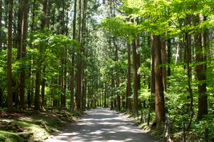 弥彦参道の杉並木の写真素材 [FYI01631493]