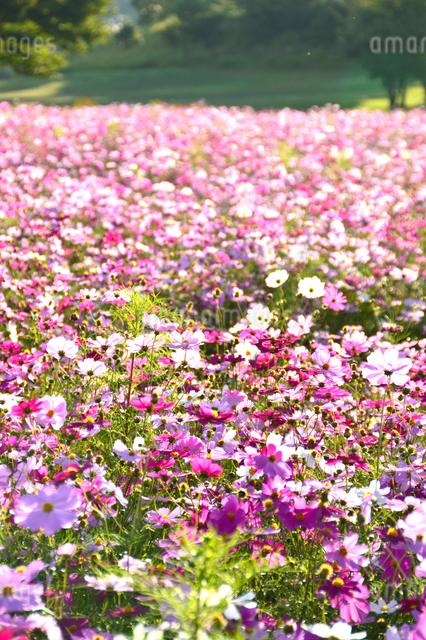 東山ふれあい農業公園のコスモス畑の写真素材 [FYI01631529]