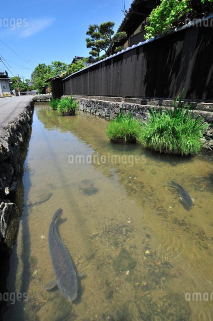 藍場川と鯉の写真素材 [FYI01631624]
