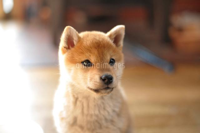 柴犬の子犬の写真素材 [FYI01632117]