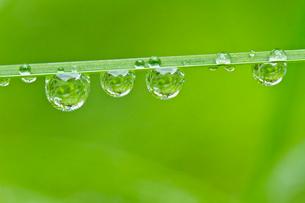葉の水滴の写真素材 [FYI01632812]