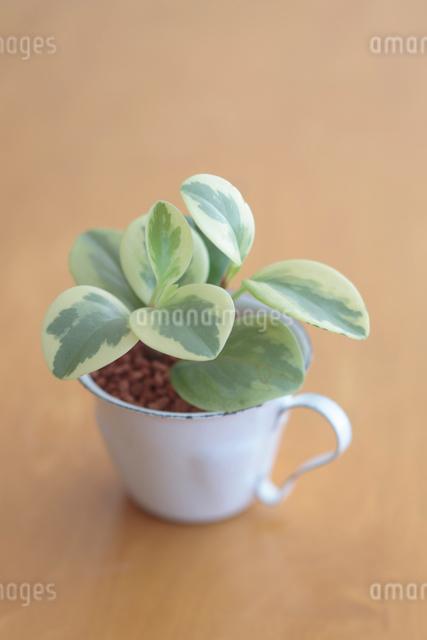 カップに入った観葉植物の写真素材 [FYI01634900]