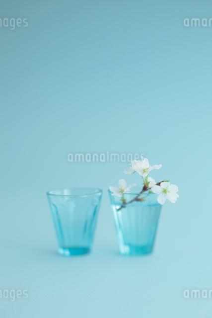 桜の花の写真素材 [FYI01634934]