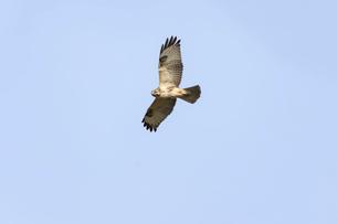 獲物を探して飛ぶノスリの写真素材 [FYI01635020]