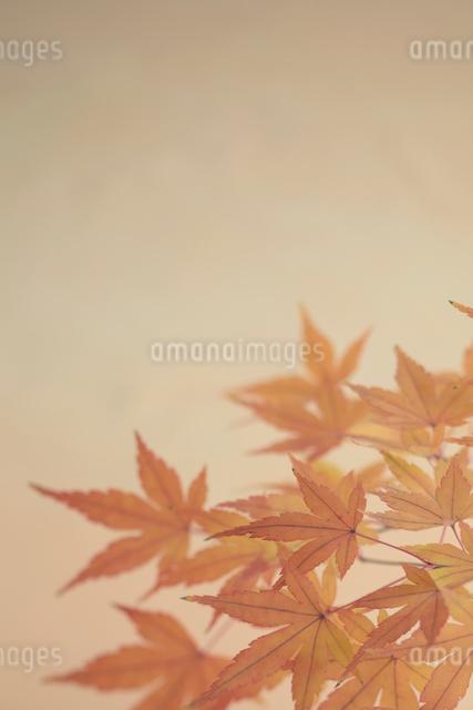 紅葉の写真素材 [FYI01635038]