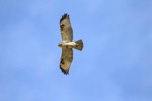 獲物を探して飛ぶノスリの写真素材 [FYI01635069]