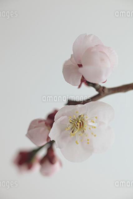 梅の写真素材 [FYI01635152]
