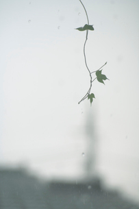 朝顔の葉と雨の写真素材 [FYI01635155]