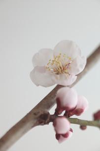梅の写真素材 [FYI01635230]