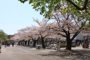 東山動物園の桜の写真素材 [FYI01635234]