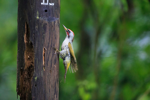 駐車禁止の木製杭で虫探しをするアオゲラの写真素材 [FYI01635238]