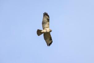 獲物を探して飛ぶノスリの写真素材 [FYI01635246]