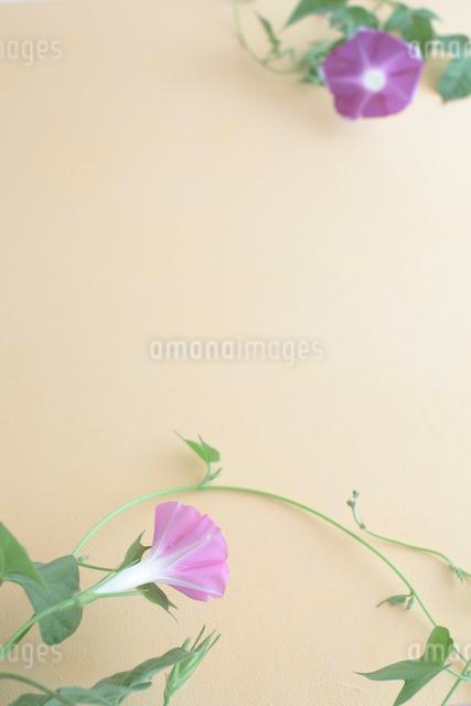 朝顔の写真素材 [FYI01635292]