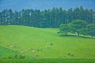 牛の放牧の写真素材 [FYI01635329]